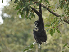 Gibbon - The Singing Ape