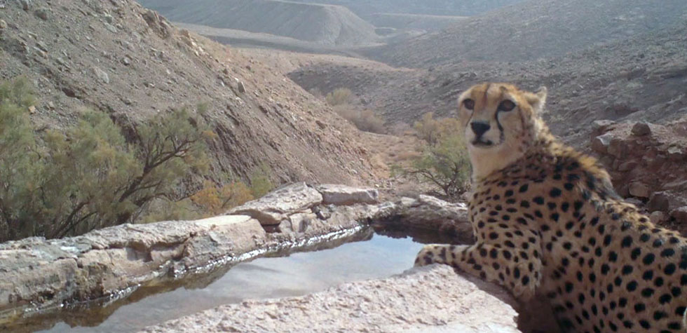 Tanhavash - The Loneliest Cheetah on Earth